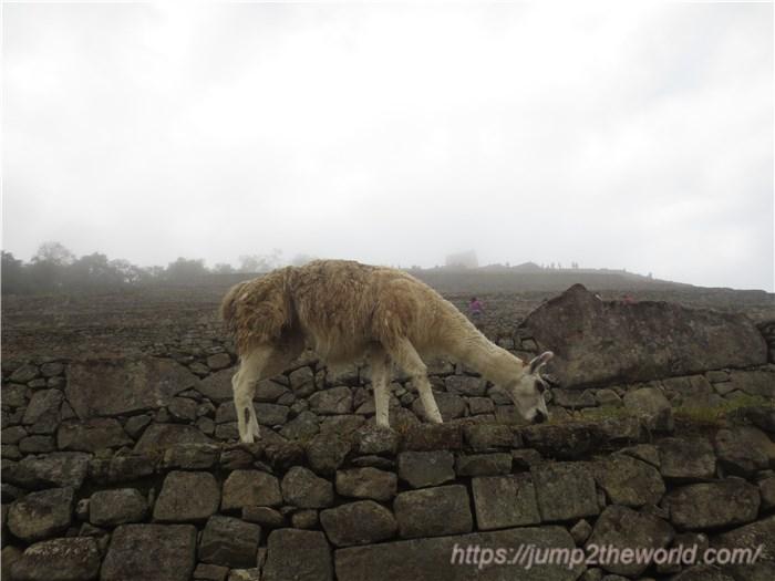マチュピチュ 崖の上のリャマ